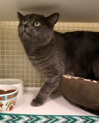 [picture of Monkey, a Russian Blue Mix blue cat]