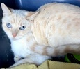[picture of Kooa, a Siamese flame point cat]