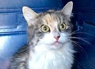 A picture of #ET02697: Babie a Domestic Long Hair calico