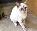 A picture of #ET02699: Vanillie a Siamese lynx point