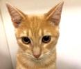 [picture of Tillie, a Oriental Mix orange cat]