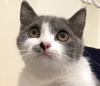 [picture of Bisket, a Persian blue/white\ cat]