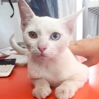 [picture of Vivica, a Domestic Short Hair white/bi-color eyes\ cat]