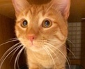 A picture of #ET02704: Tolowa a Domestic Short Hair orange