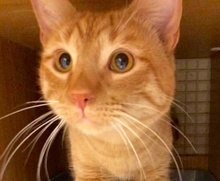 [picture of Tolowa, a Domestic Short Hair orange\ cat]