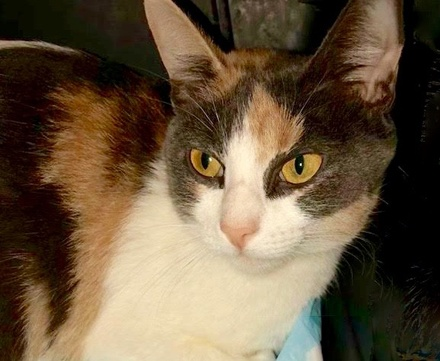 [picture of Carolee, a Domestic Medium Hair dilute calico\ cat]
