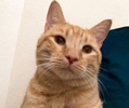 A picture of #ET02709: Yosemite a Domestic Short Hair orange