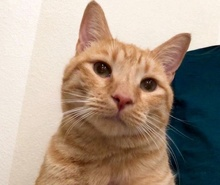 [picture of Yosemite, a Domestic Short Hair orange cat]