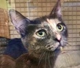 A picture of #ET02710: Tahari a Domestic Short Hair dilute tortie