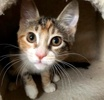 A picture of #ET02712: Sage a Domestic Medium Hair calico