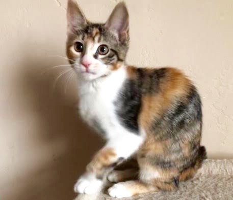 [another picture of Sage, a Domestic Medium Hair calico\ cat]