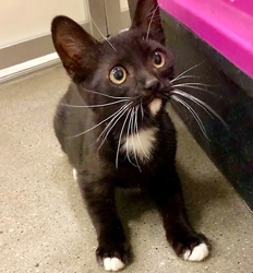 [picture of Bandit, a Domestic Short Hair black/white tuxi cat]