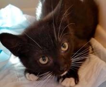 [picture of Bandit, a Domestic Short Hair black/white tuxi\ cat]
