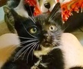 A picture of #ET02714: Hydrox a Domestic Short Hair black/white