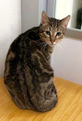 [picture of Keebler, a Domestic Short Hair brown marble tabby cat]