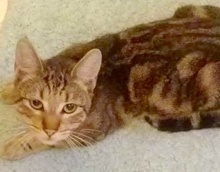 [picture of Keebler, a Domestic Short Hair brown marble tabby\ cat]