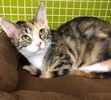 A picture of #ET02716: Marita a Domestic Short Hair calico