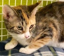 [picture of Marita, a Domestic Short Hair calico\ cat]