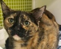 A picture of #ET02717: Lorita a Domestic Short Hair tortie