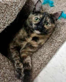 [another picture of Lorita, a Domestic Short Hair tortie\ cat]