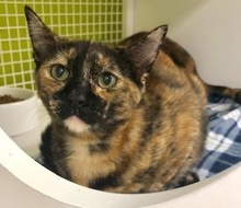 [picture of Lorita, a Domestic Short Hair tortie cat]