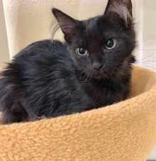 [another picture of Webby, a Ragdoll Mix smoke/black\ cat]