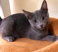 [picture of Stormy, a Russian Blue Mix blue\ cat]