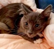 A picture of #ET02721: Smokey a Russian Blue Mix blue/white