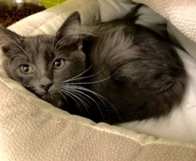 [another picture of Smokey, a Russian Blue Mix blue/white\ cat]
