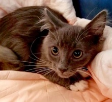 [picture of Smokey, a Russian Blue Mix blue/white\ cat]