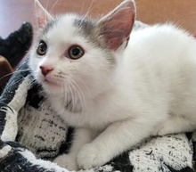 [picture of Flair, a Turkish Van Mix white/brown\ cat]