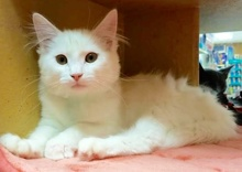 [another picture of Phantom, a Ragdoll Mix white\ cat]