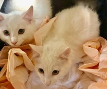 [picture of Phantom, a Ragdoll Mix white\ cat]