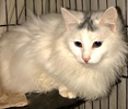 A picture of #ET02726: Darlita a Turkish Van Mix white