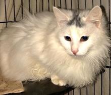 [picture of Darlita, a Turkish Van Mix white\ cat]