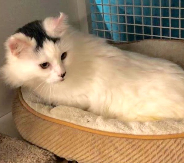 [picture of Darlo, a Turkish Van Mix white\ cat]
