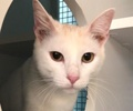A picture of #ET02728: Sweeto a Turkish Van Mix white