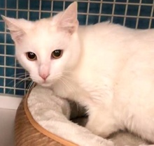 [another picture of Sweeto, a Turkish Van Mix white\ cat]