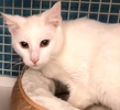 [picture of Sweeto, a Turkish Van Mix white cat]
