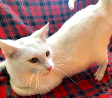 [picture of Sweeto, a Turkish Van Mix white\ cat]