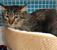 A picture of #ET02729: Viedo a Ragdoll Mix brown tabby