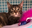 A picture of #ET02730: Varla a Domestic Short Hair brown tabby
