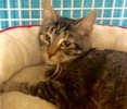 [picture of Varla, a Domestic Short Hair brown tabby cat]