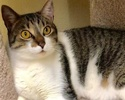 A picture of #ET02731: Auvi a Domestic Short Hair brown tabby/white