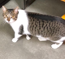 [picture of Auvi, a Maine Coon-x brown tabby/white cat]