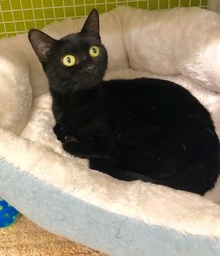 [another picture of Noche, a Domestic Short Hair black\ cat]