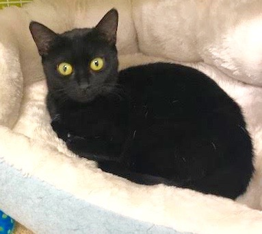 [picture of Noche, a Domestic Short Hair black cat]
