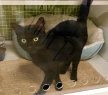 [picture of Noche, a Domestic Short Hair black\ cat]
