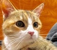 A picture of #ET02733: Roni a Domestic Medium Hair calico