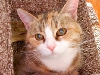 [picture of Roni, a Domestic Medium Hair calico cat]